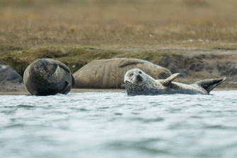 close up on three seals lounging on the shore